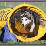 MOIM ZDANIEM: Jak husky zaczął trenować agility