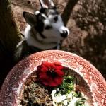 Pies na zioła